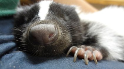 Skunks use their powerful sense of smell to find food