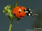 7-spot Ladybird Beetle