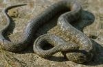 Snakes (Serpentes)