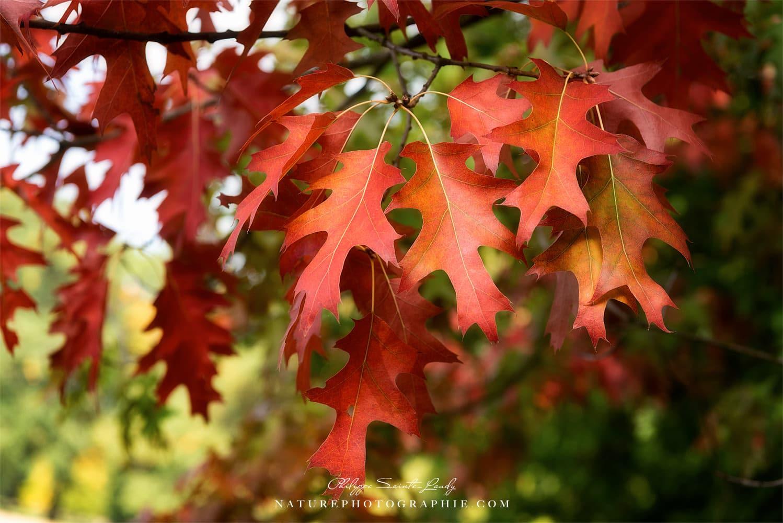 automne et couleur de chene un arbre qui impose le respect