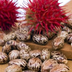 Castor Seeds to make Castor Seed Oil