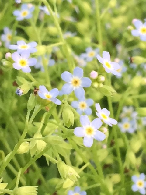 Water Forget me not 9cm pots  Myosotis scorpoides    UK Delivery     Water Forget me not 9cm pots  Myosotis scorpoides