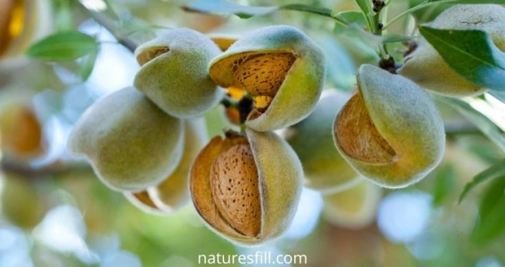 Almonds_naturesfill.com