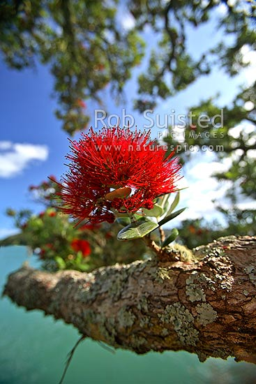 Pohutukawa Tree Flower On Branch Metrosideros Excelsa