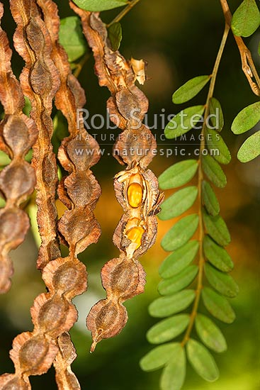Nz Native Kowhai Tree Seed Pods Showing Seeds Sophora