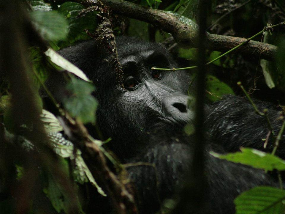Uganda gorilla permit