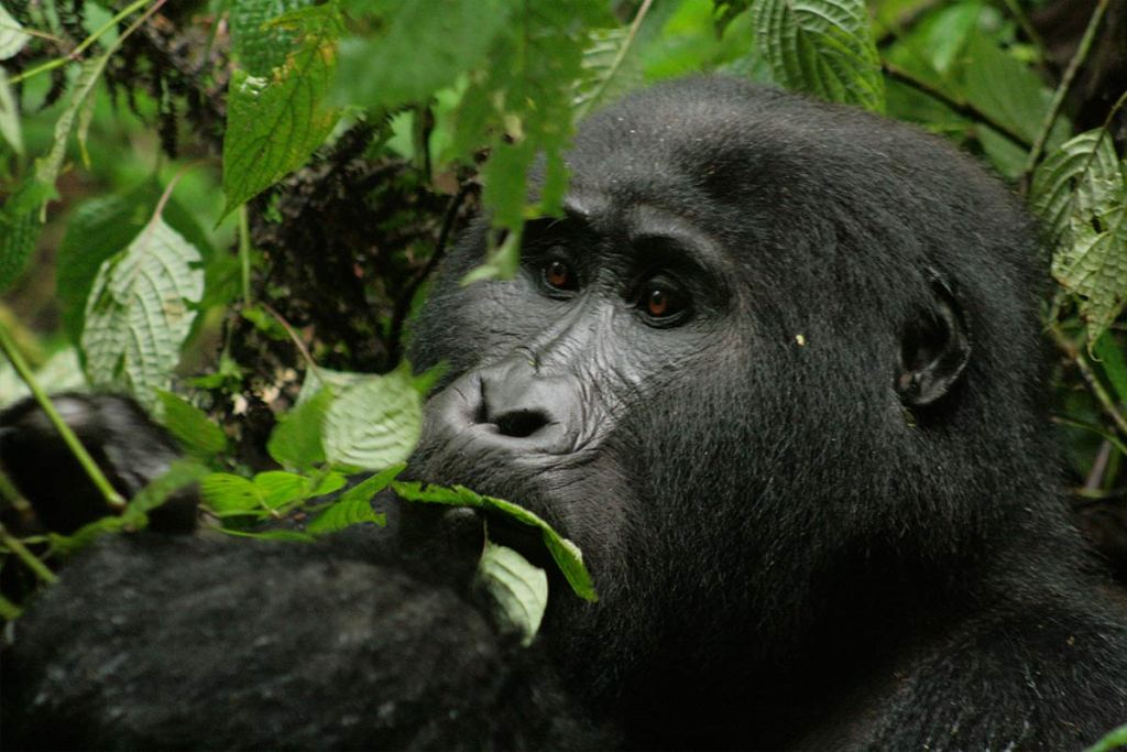 Mountain Gorillas in The Mist