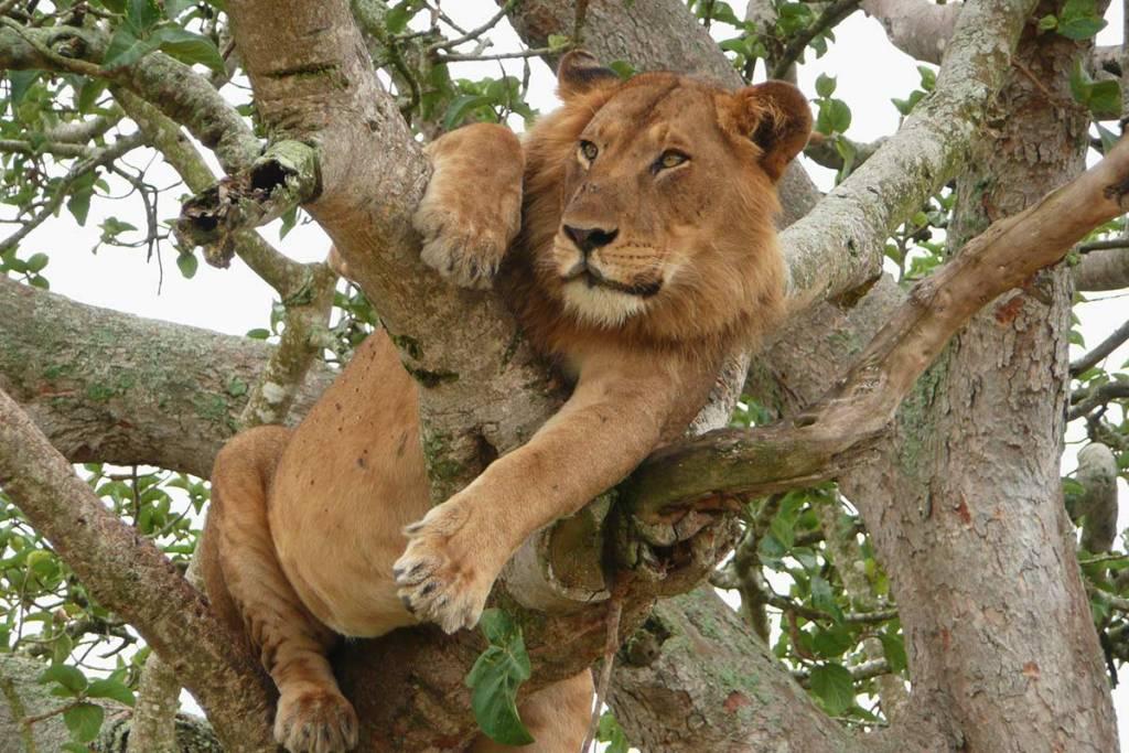 Ishasha tree lions