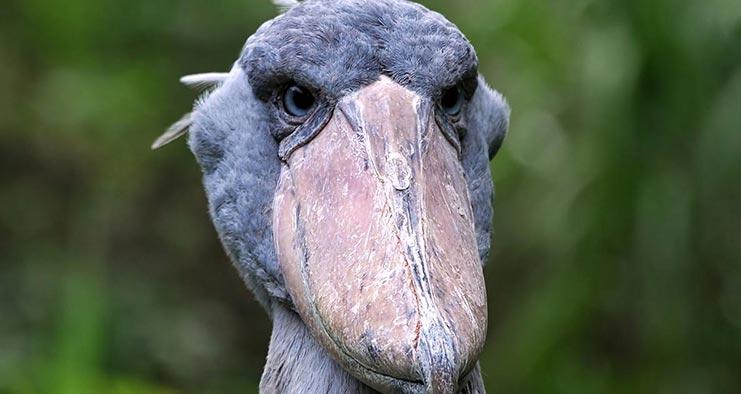 Birding in Uganda Safari