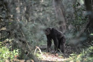 chimps in Kibale