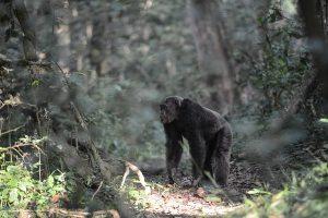 chimps in Kibale