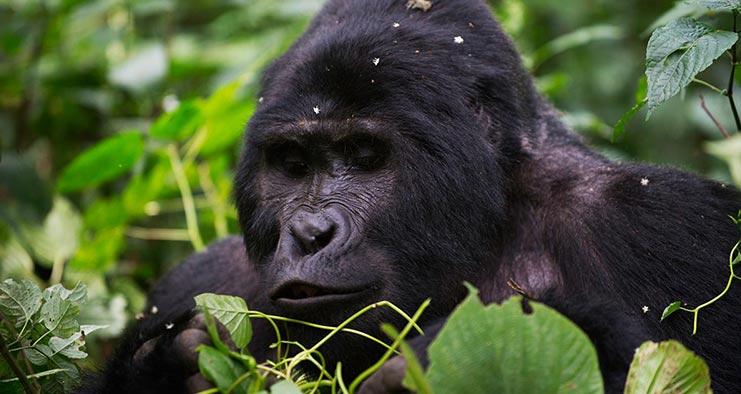 Uganda Primates Jungle Safari in 8 Days