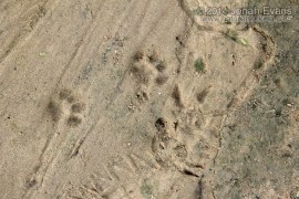 Housecat and Opossum Tracks