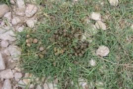 Cottontail Scat