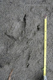 Bald Eagle Tracks