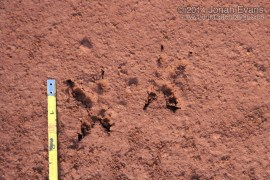 Burrowing Owl Tracks (South America)