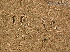 Pelican Tracks