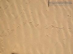 Quail Tracks