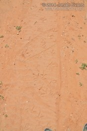 Turkey Tracks (Male Displaying)