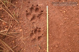 Maned Wolf Tracks