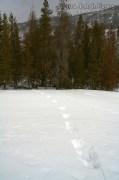 Gray Wolf Tracks