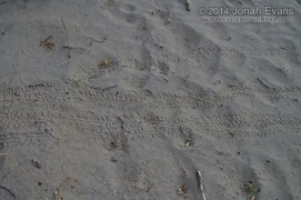 Baby Green Sea Turtle Tracks