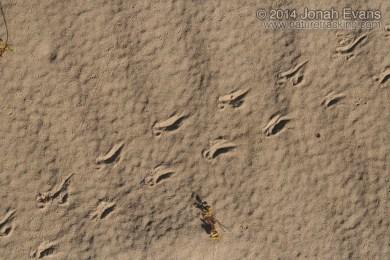 Box Turtle Tracks