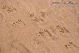 Caiman Tracks (South America)