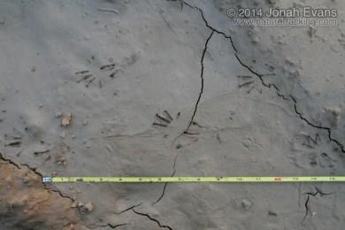 Lizard Tracks (South America)