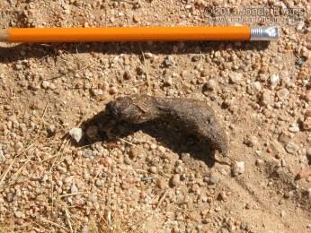Desert Tortoise Scat