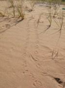 Desert Tortoise Tracks