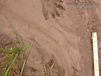 Crayfish and Raccoon Tracks