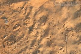Scorpion Tracks
