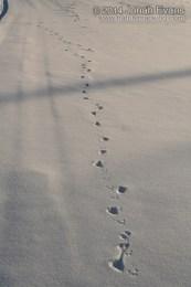 Ermine Tracks