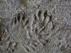 Opossum and River Otter Tracks