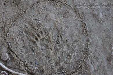 Raccoon Left Hind Track