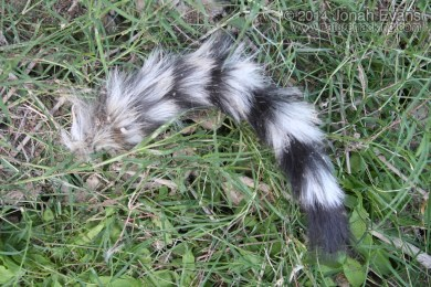 Ringtail Tail