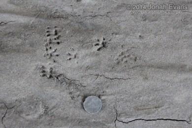 Black Rat Tracks