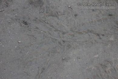 California Ground Squirrel Scent Marking