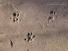 Harvest Mouse Tracks