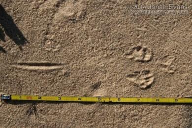 Ord's Kangaroo Rat Tracks