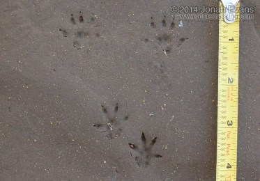 Norway Rat Tracks
