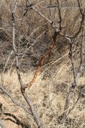 Mule Deer Rub