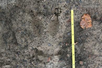 Mule Deer Front Track
