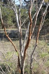 White-tailed Deer Rub