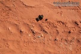Coyote Scat