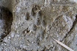 Mountain Lion Female