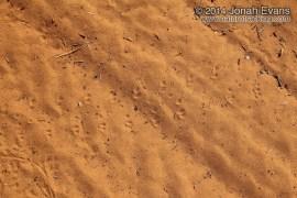 Tarantula Tracks
