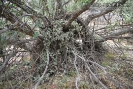 Big-eared Woodrat Nest