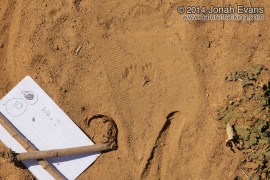 Kangaroo Rat Tracks